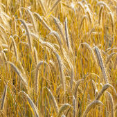 Background of ripe corn field in golden colors — Stock Photo
