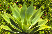 Green Agave in sunlight — Stock Photo