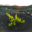 Beautiful grape plants grow on volcanic soil in La Geria - Stock Photo