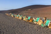 Camels at Timanfaya national park in Lanzarote wait for tourists — Stock Photo