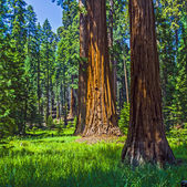 Sequoia tree in the forest — Stock Photo