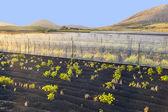 Sistema de irrigação de água em um campo com terra de lapili — Foto Stock