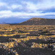 Beautiful grape plants grow on volcanic soil in La Geria — Stock Photo