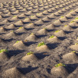 Pattern of field with vegetables growing on volcanic earth — Stock Photo