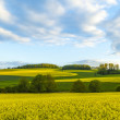 Rape field under blue sky — Stock Photo