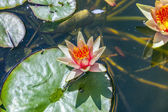 Waterlily swims in the lake — Stock Photo