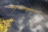Alligator swimming in florida wetland pond — Stock Photo