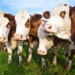Cattle on green meadow are feeded — Stock Photo