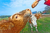 Friendly cattles on green granzing land are trusty — Stock Photo