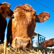 Friendly cattle on straw with blue sky — Stock Photo