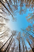 Crown of trees with clear blue sky and harmonic branch structure — Stock Photo