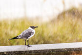 Seagull in heavy rain stands on the pier — Stock Photo