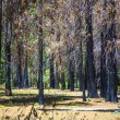 By forest fire damaged trees with black bark in the yosemite nat — Stock Photo
