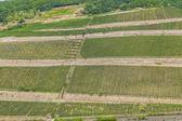 Ruedesheim ren vadisi'nde, güzel üzüm bağları — Stok fotoğraf