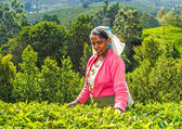Harvest in the tea fields, tea picker in the highlands — Stock Photo