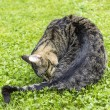 Stock Photo: Cat lies on the grass and cleans itself