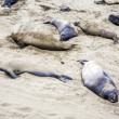 Stock Photo: Male Sealions relax at the beach