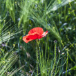 Colorful red poppy flowers in the meadow — ストック写真