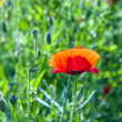 Colorful red poppy flowers in the meadow — Stock Photo