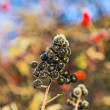 Berry with hoar frost in winter — Stock Photo