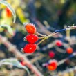 Rose hips with hoar frost in winter — Stock Photo #36255449