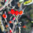 Stock Photo: Rose hips with hoar frost in winter