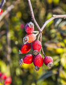 Rose hips with hoar frost in winter — Stock Photo