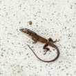 Stock Photo: Common salamander