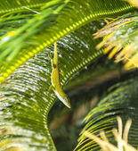 Common salamander in the palm tree — Stockfoto