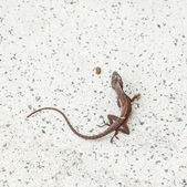 Common salamander — Foto Stock