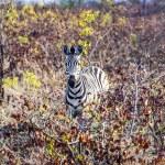 Zebras in the wilderness — Stock Photo #39986293