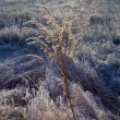 Стоковое фото: Frozen plants in meadow in wintertime