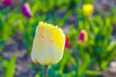 Blooming yellow tulip — Stock Photo