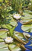 Lotos biały nenufar w jeziorze — Zdjęcie stockowe