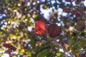 Hazelnut leaf in bright colors  — Photo