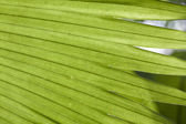 Palm leaves texture in tropical garden — Stock Photo