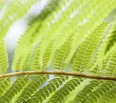 Paproć zielone liście i — Zdjęcie stockowe