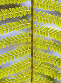 Green fern leaves i — Stock Photo