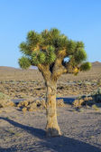 Beautiful yucca plants in sunset in desert area i — Photo