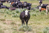 Cows grazing at the meadow — Stock Photo