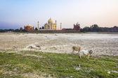 Taj mahal from yamuna river in sunset — Stock Photo