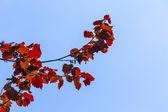 Hazelnut leaves under blue sky — Stock Photo