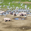 Pigs and pigeons at the meadow — Stock Photo #45300459