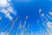 Reeds of grass with blue sky — Stock Photo