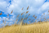Reeds of grass with cloudy sky  — Stock Photo