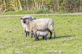 Весна пастбище стадо овец и ягнят — Стоковое фото