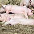 Flock of pigs in a bio farm — Stock Photo #45406113