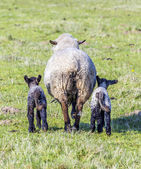 Spring pasture with flock of sheep and lambs — Stock Photo