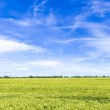Corn field in spring with blue sky — Stock Photo #46429939