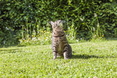 kitten playing in the green grass and hunts — Stock Photo